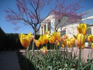 tulipsweb